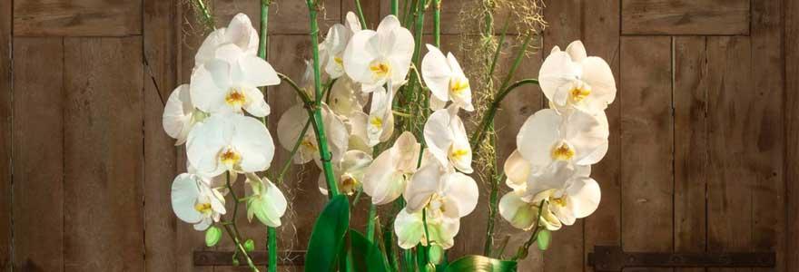 orchidées haut de gamme
